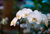 White orchid flowers — Foto Stock