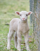 Cute baby lamb — Stock Photo