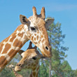 Royalty-Free Stock Photo: Mother and baby giraffe