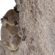 Koala in tree — Stock Photo