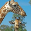 Mother and baby giraffe — Stock Photo #1197565