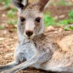 Kangaroo lying around — Stock Photo