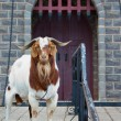 Guard goat — Stock Photo