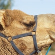 Camels — Stock Photo #1197635