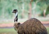 Old emu — Stock Photo