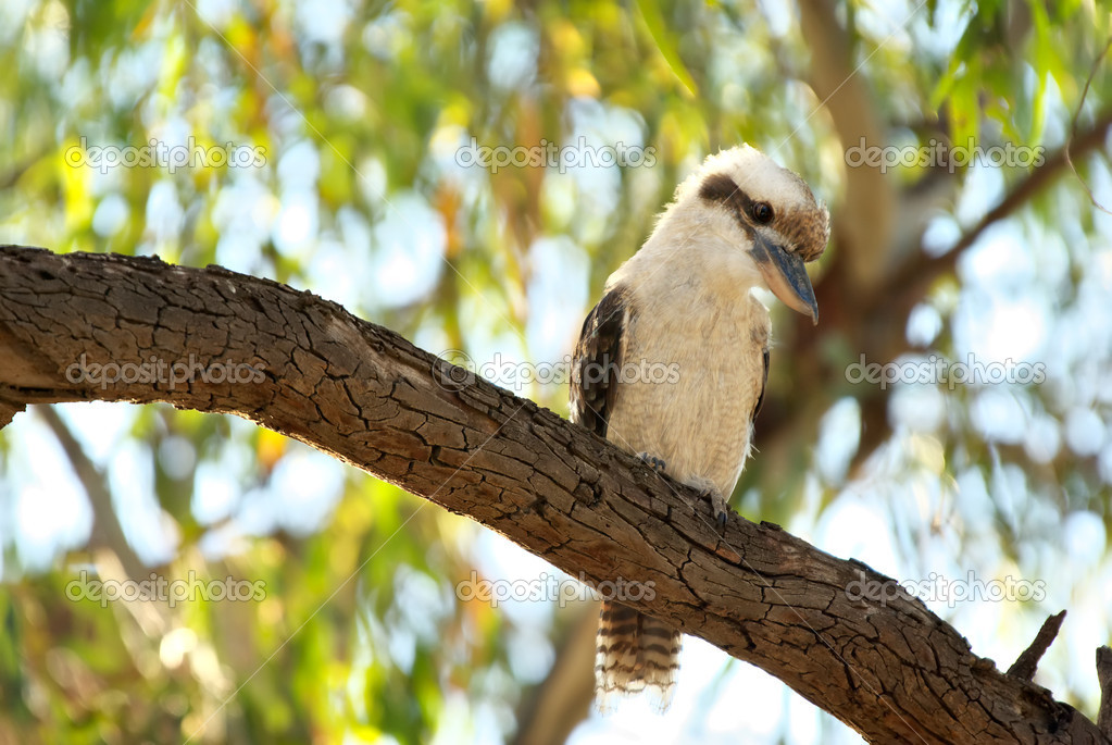 An australian laughing kookaburra sits on a tree branch  Stock Photo #1197207