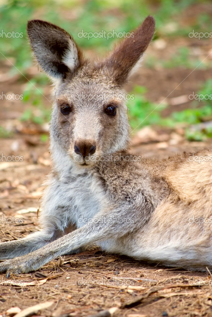 An eastern grey kangaroo is laying down and resting — Stock Photo #1197574