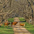 Cows in the road — Stock Photo