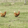 Freerange chickens — Stock Photo