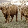Highland cows on the farm — Stock Photo #1212476