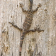 Goanna just hanging around — Stock Photo