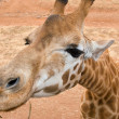 Giraffe up close — Stock Photo