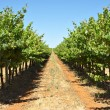 Grape vines in a row - Stock Photo