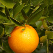 Orange on bush - Stock Photo
