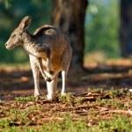 Kangaroo looking left — Stock Photo