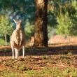 Kangaroo enjoying morning sun — Stock Photo
