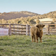 Highland cow on the farm — Stock Photo