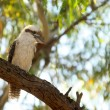 Kookaburra in tree — Stock Photo