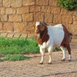 Goat on path — Stock Photo