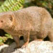 Dwarf mongoose — Stock Photo