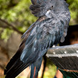 Glossy black cockatoo at adelaide zoo — Stock Photo