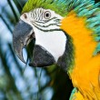 Macaw — Stock Photo #1214417