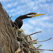 Pied cormorant — Stock Photo