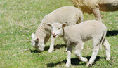 Young lambs on the farm — Stock Photo