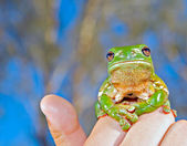 Green tree frog held up — Stock Photo