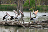 One boastful pelican showing off in fron — Stock Photo
