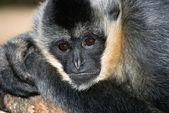 White handed gibbon — Stock Photo