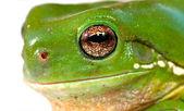 Frog closeup — Stock Photo