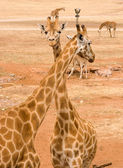 Two giraffes together — Stock Photo