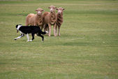 Sheepdog trials — Stock Photo