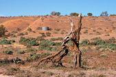 Ett torkat ut döda träd — Stockfoto
