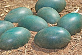 Green emu eggs in the dirt — Stock Photo