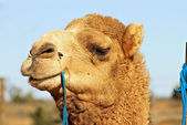 Close up of camel — Stock Photo