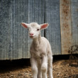 Young lamb on the farm — Stock Photo #1244431