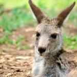 Kangaroo sitting — Stock Photo