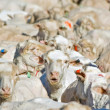 Royalty-Free Stock Photo: Flock of sheep
