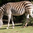 Stock Photo: Zebra eating grass at adelaide zoo south
