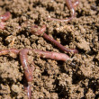 Composting worms - Stock Photo