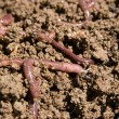 Composting worms — Stock Photo