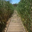 Boardwalk in reeds — Stock Photo
