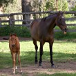 Was that you? horse and foal - Stock Photo