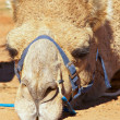 Stock Photo: Sulking camel
