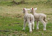 Lambs walking away — Stock Photo