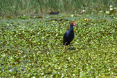 Water hen — Stock Photo