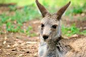 кенгуру сидя — Стоковое фото