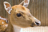 Deer headshot — Stock Photo